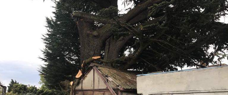 how to take care of cedar trees