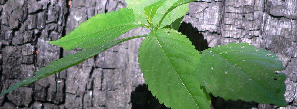 Ash Dieback Disease