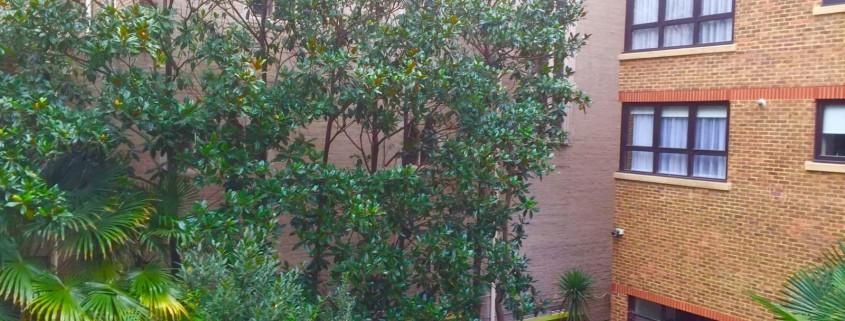 Our Work Magnolia Grandiflora Hedgerow Tree Surgeon Jj And B